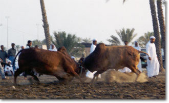 Fujairah - Bull Fighting